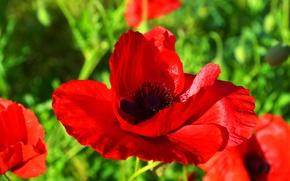Картинка зелень, лето, красный, мак, Цветок, день