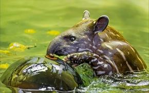 Картинка животные, природа, миноискатель), тапир