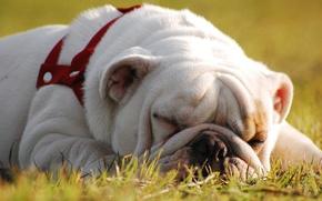 Картинка отдых, сон, собака, английский бульдог