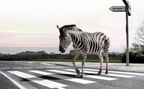 Картинка дорога, природа, зебра