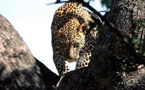 Обои взгляд, леопард, охота