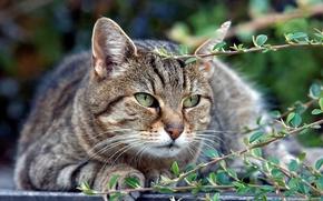 Картинка кот, взгляд, серый, отдых