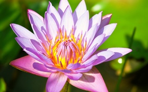 Картинка зелень, цветок, листья, розовая, лилия, лепестки, стебель, лотос, кувшинка