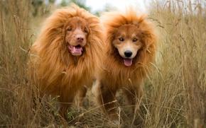 Картинка трава, забавно, две собаки, наращивание волос, рыжие, пара, щенки, порода, природа, собаки, грива, язык, лев, ...