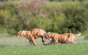 Картинка lions, playing, mud, Tanzania, cubs, Ngorongoro Conservation Area, Arusa