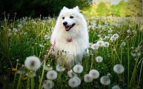 Картинка зелень, поле, белый, лето, трава, цветы, природа, поляна, собака, луг, прогулка, одуванчики, мордашка, хорошенький, шпиц
