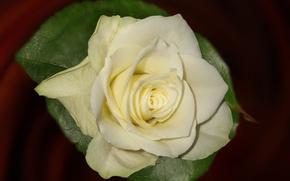 Картинка фон, роза, лепестки, бутон, белая роза