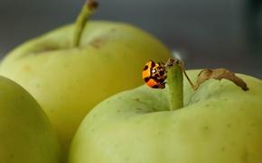 Картинка фон, яблоки, божья коровка, насекомое