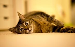 Картинка кошка, лежит, взгляд, животные, пол, кот