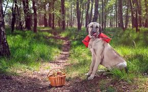 Картинка лес, собака, корзинка, тропинка