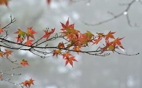 Обои ветка, листья, осень, капли, пасмурно