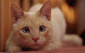 Обои кошка, белый, глаза, кот, кошак, смотрит