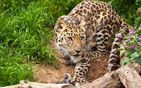 Картинка кошка, трава, взгляд, цветы, леопард, коряга, амурский леопард
