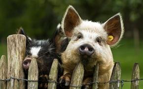 Картинка фон, забор, свиньи