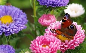 Картинка макро, цветы, бабочка, астры, Павлиний глаз