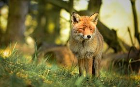 Картинка взгляд, хищник, рыжая, природа, лиса, лес