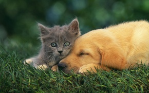 Картинка собака, котёнок, друзья