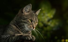 Обои кошка, кот, взгляд, котэ, зелёный фон