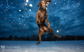 Картинка свет, снег, ночь, собака, вечер, лабрадор, в воздухе, шоколадный, ретривер