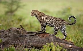 Обои леопард, хищник, природа