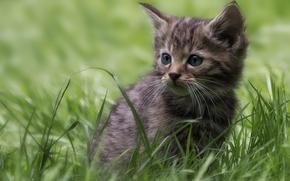 Обои трава, котёнок, дикая кошка, лесная кошка
