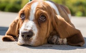 Картинка взгляд, морда, портрет, собака, Бассет-хаунд