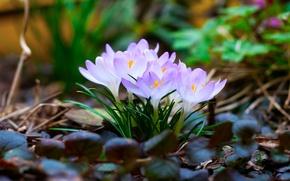 Картинка листья, макро, весна, первоцветы, Крокусы