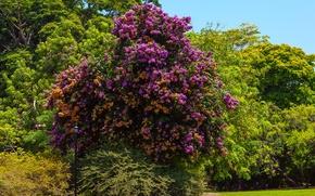 Картинка трава, деревья, парк, США, солнечно, Bougainvillea, arborea, Fairchild Tropical Botanic Garden, Бугенвиллея