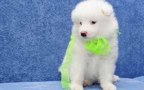 Картинка собака, щенок, самоед