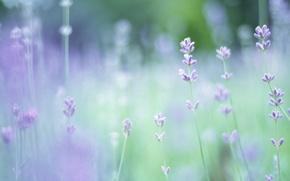 Обои фокус, макро, цветы, растения, лаванда, поляна, размытость, зелень, весна