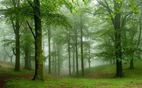 Обои зелень, лес, трава, деревья, туман, мох