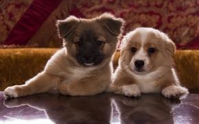 Обои лапки, щенки, морды, мордочки, собачки, щенята, мордашки