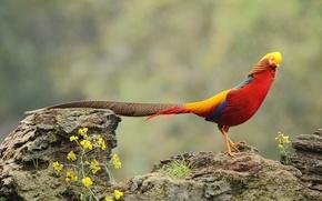 Картинка rock, flowers, wildlife, golden pheasant