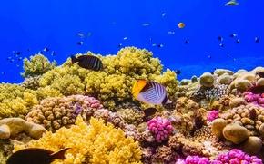 Картинка рыбы, краски, Египет, Красное море, коралловый риф