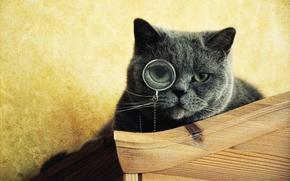 Обои мордочка, монокль, серый, глаза, смотрит, кот