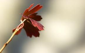 Картинка осень, листья, красный, природа, фон, обои, ветка, клен