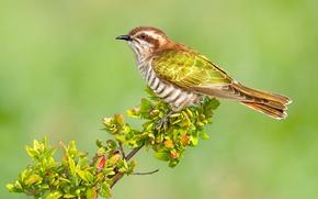 Обои листья, птица, ветка, Австралия, краснохвостая бронзовая кукушка