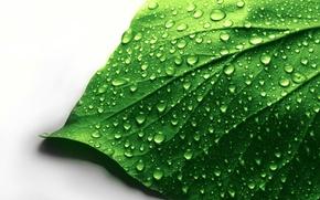 Картинка вода, капли, макро, лист, зеленый, белый фон