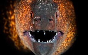 Картинка макро, рыба, зубы, пасть, мурена
