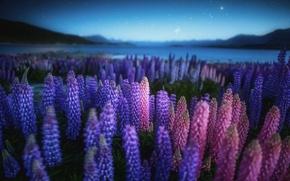Картинка поле, цветы, ночь, природа, озеро, вечер, Новая Зеландия, Люпины
