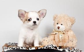 Картинка игрушка, щенок, медвежонок, чихуахуа