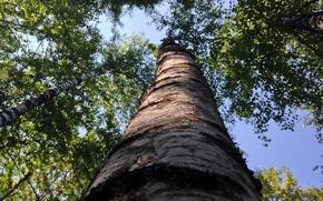 Картинка лес, лето, небо, ствол, береза, роща