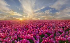 Картинка природа, утро, тюльпаны