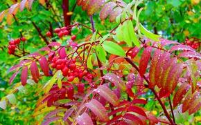 Картинка осень, ягоды, листва, рябина