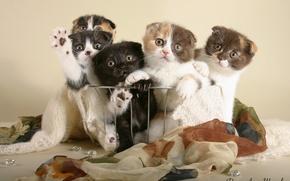 Картинка котята, британцы, коты
