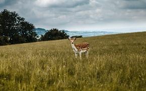 Картинка field, deer, clouded