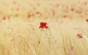 Обои маки, цветы, поле, колоски