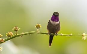 Картинка птица, ветка, бутон, колибри, дикая природа
