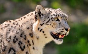 Обои пятнистый, ирбис, снежный барс, snow leopard, интерес, морда, смотрит