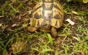 Картинка трава, природа, черепаха